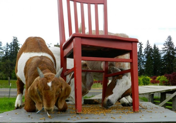 Feller House Goats