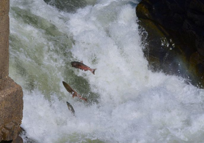 Salmon Return