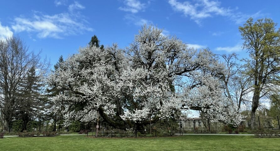 Oregon Heritage Tree