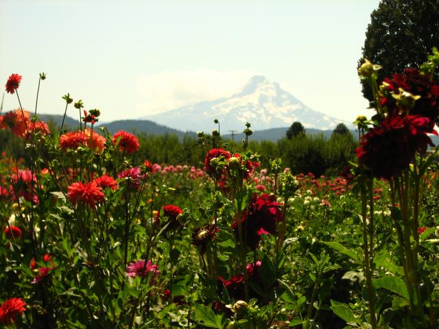 Dahlias make a showing near Hood River Lodging Accommodations